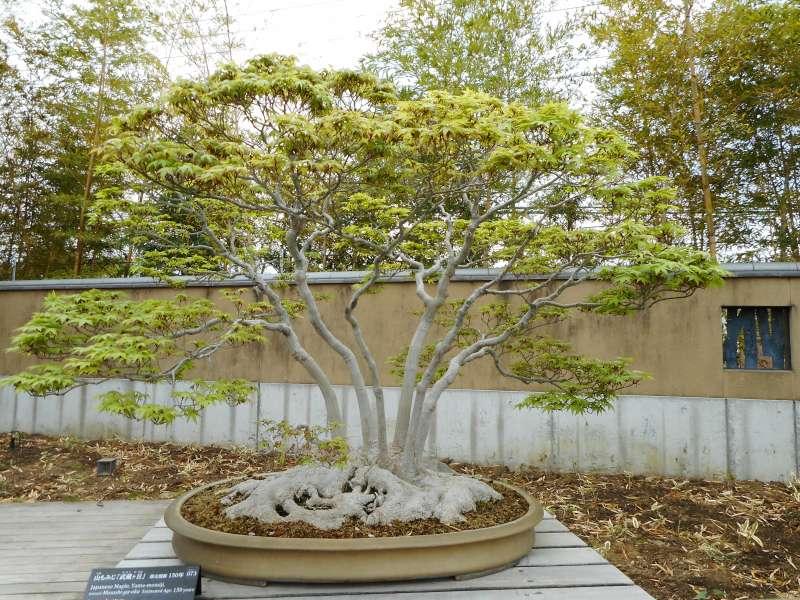 Burgeoning Japanese maple in April