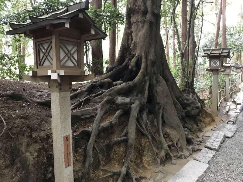 Beautiful Cedar Trees