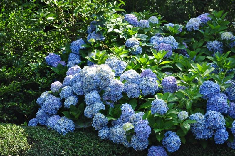Hydrangea flowers bloom in June.