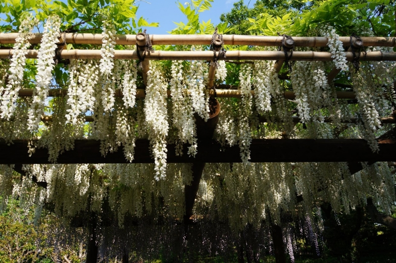 Wisteria flowers bloom in May.