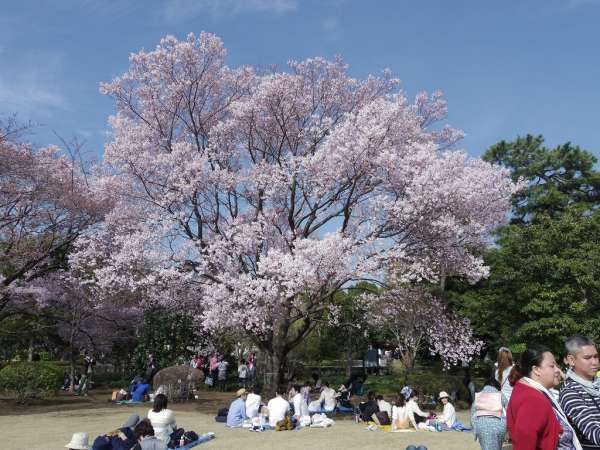 Cherry blossoms bloom in late March to early April depending on the season.