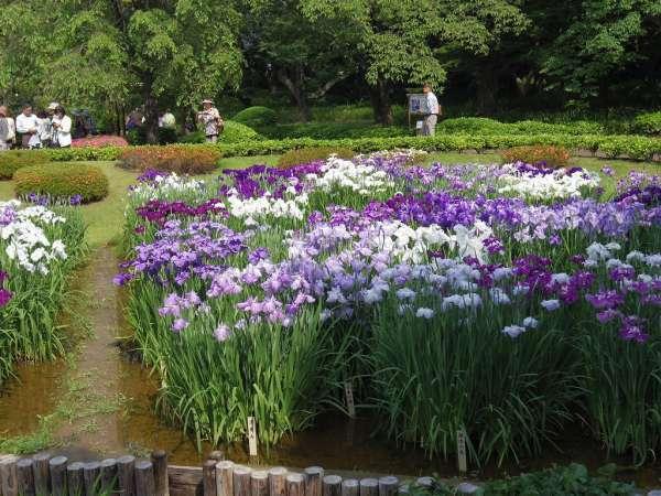 Iris flowers bloom in late May.