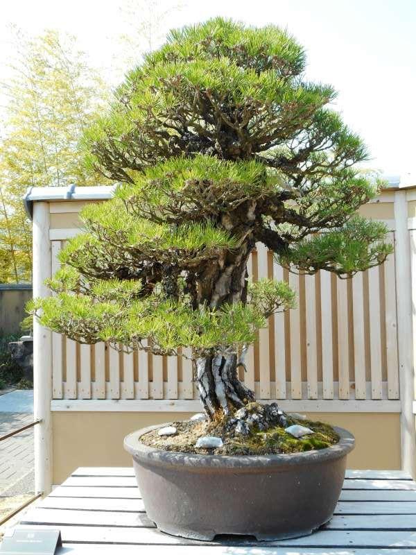 350-year-old Black Pine Bonsai