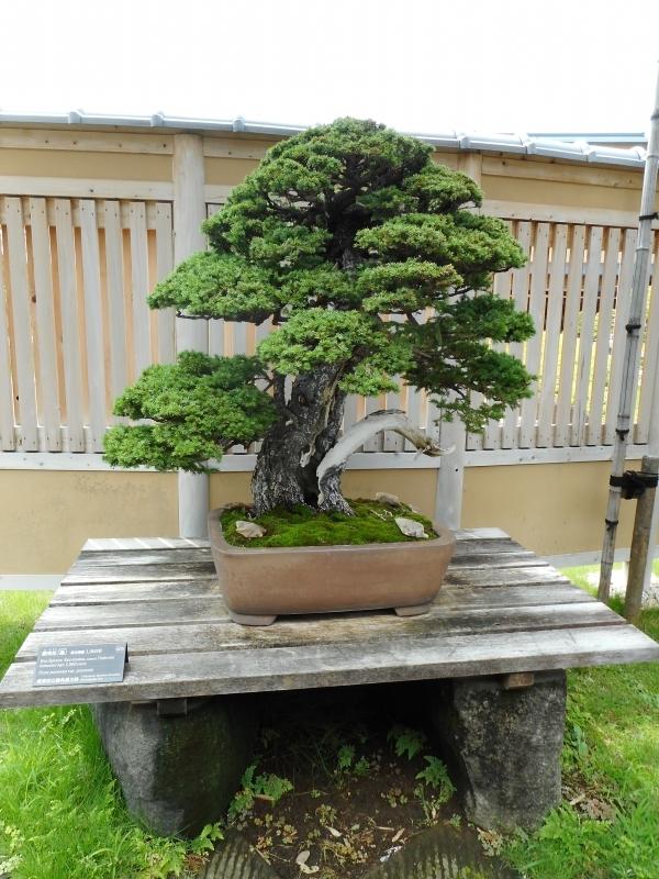 1000-year-old Yezo spruce