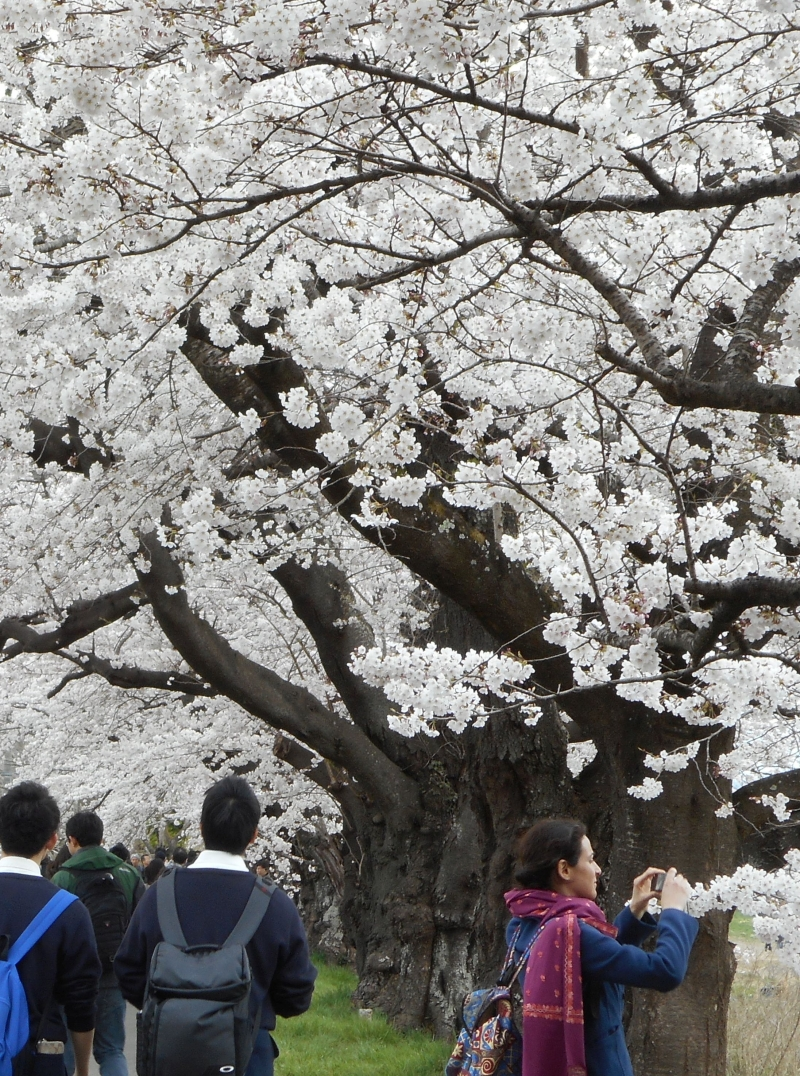 You can walk to the next station watching cherry trees along a river.
