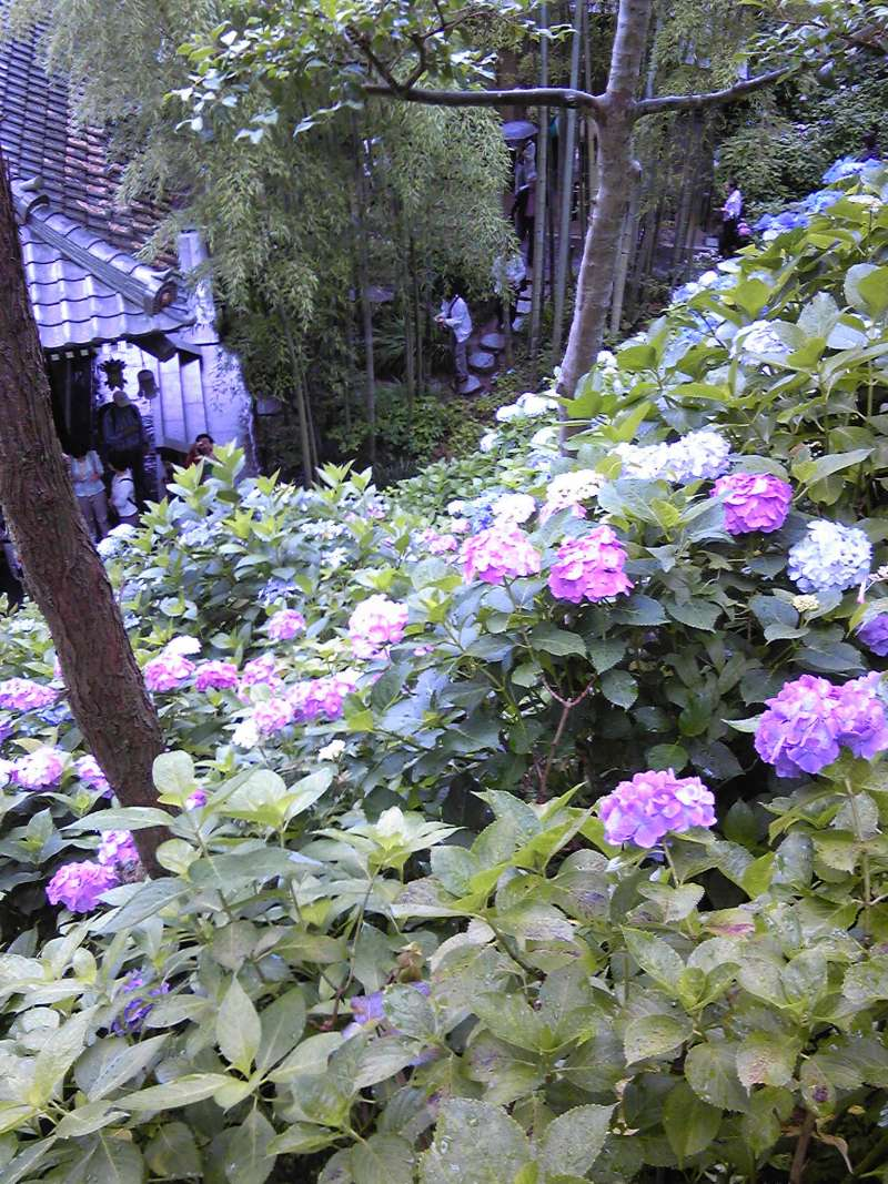 Hydrangea and bamboos at Hase temple in