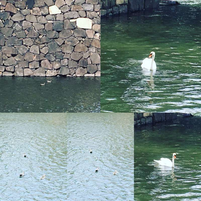 Swans and Ducks at Imperial Palace moat.