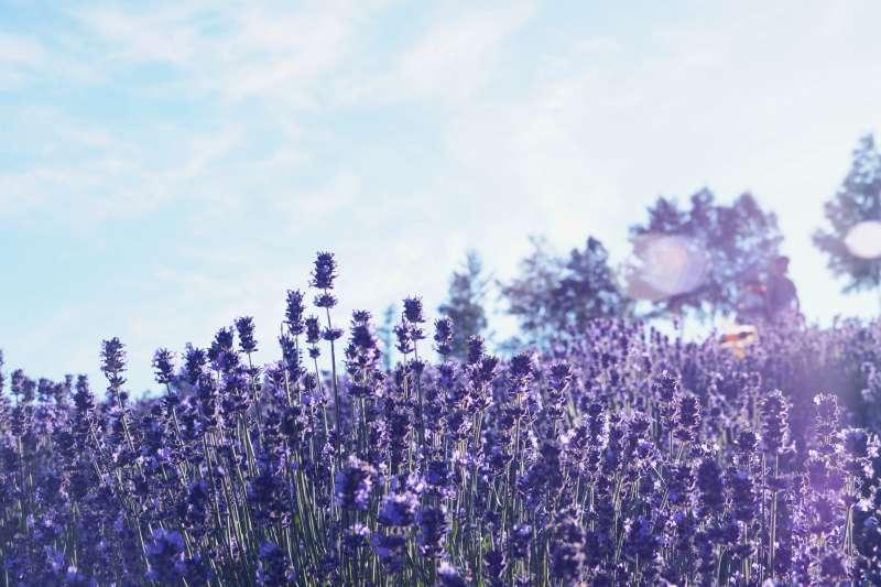 Lavender Garden in Furano