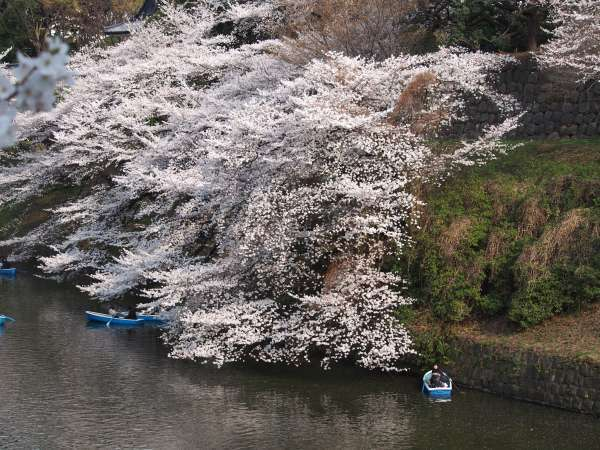 Cherry blossom view from sidewalk of the moat of Imperial Palace