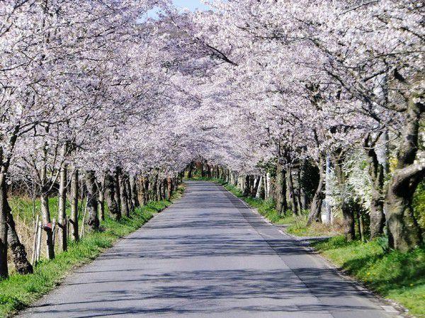 Time of Sakura
