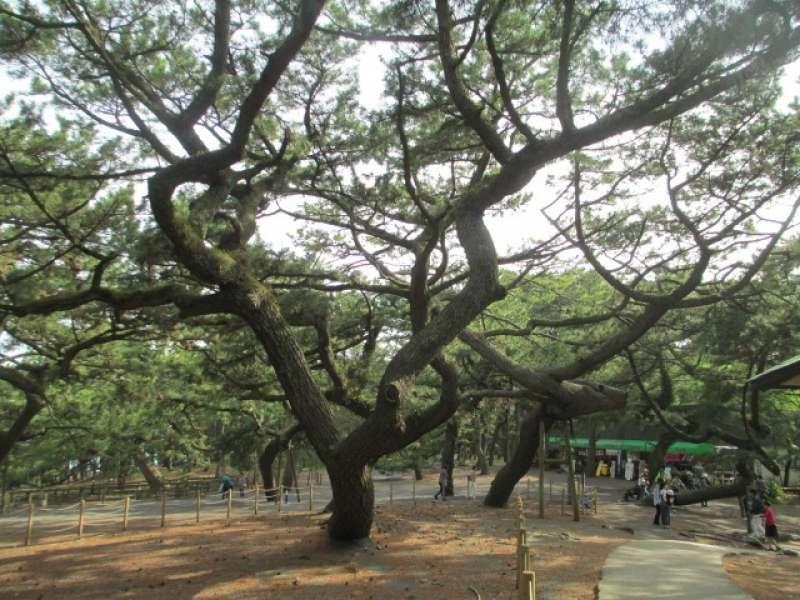 Miho Pine Tree Grove