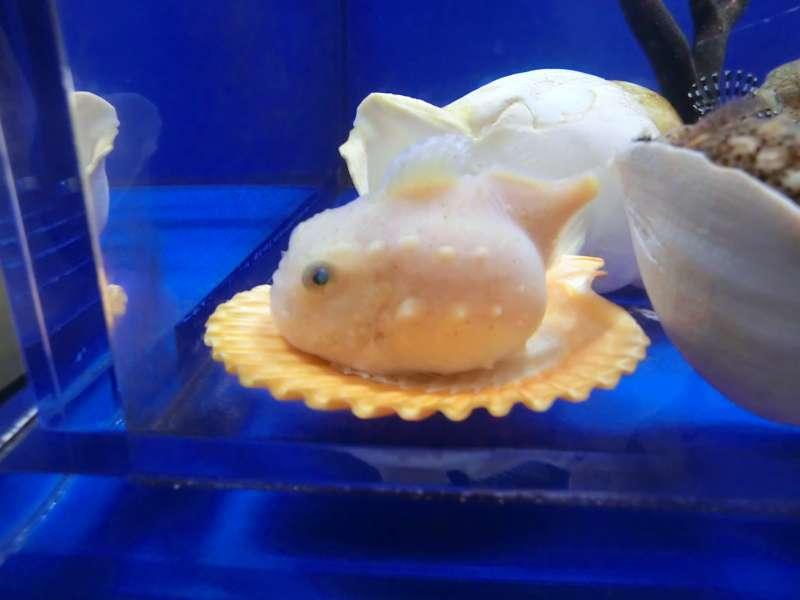 balloon lumpfish