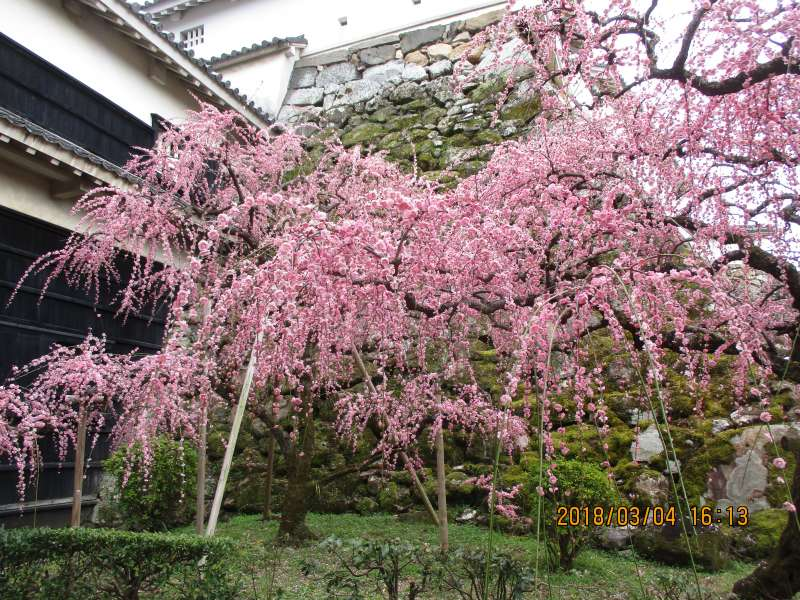 Cherry blossom in Kochi Castle