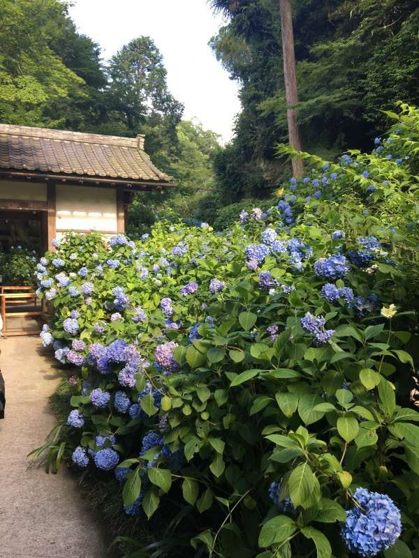Meigetsu in temple is the most popular temple in Kamakura, in June. It is very famous as a temple full of hydrangeas. Let us visit an old temple surrounded by a bunch of hydrangeas.
