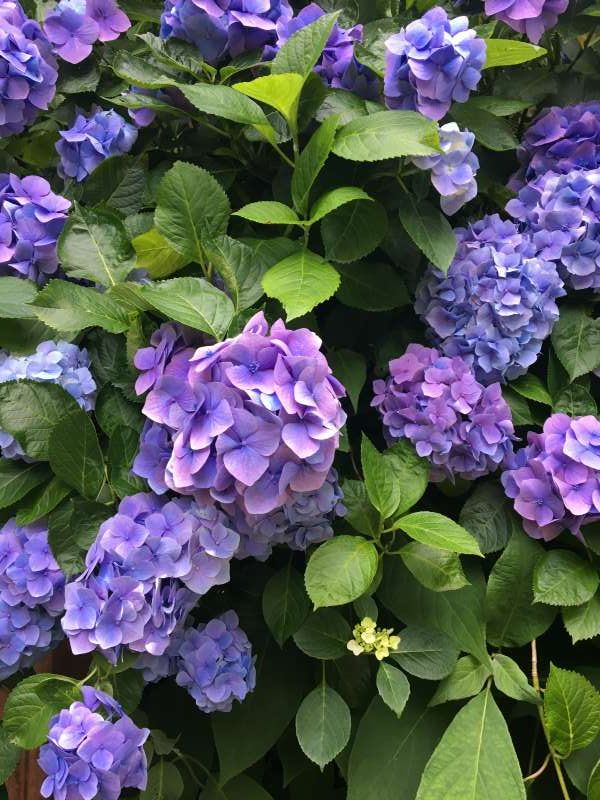 The hydrangea is a flower of Japanese origin. Kamakura is very busy with visitors who enjoy hydrangeas in June and July.