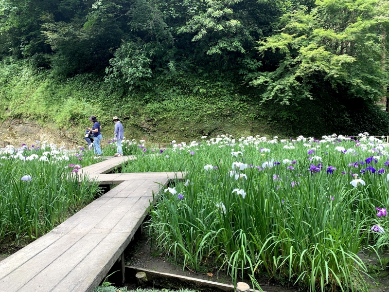 Kamakura hydrangea tour (a half day) (in June and July)