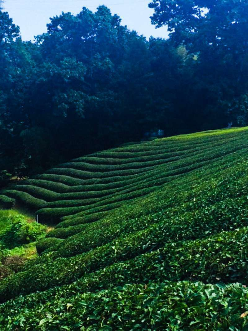 Let's walk to the green tea field! (only 5 minutes)