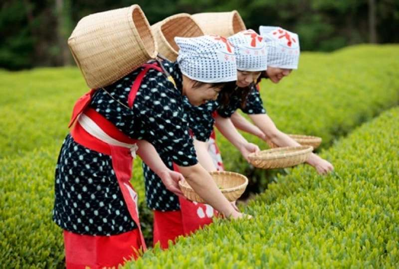 Seasonal Tour! Tea picking with a view of Mt.Fuji, closest tea field from Tokyo!