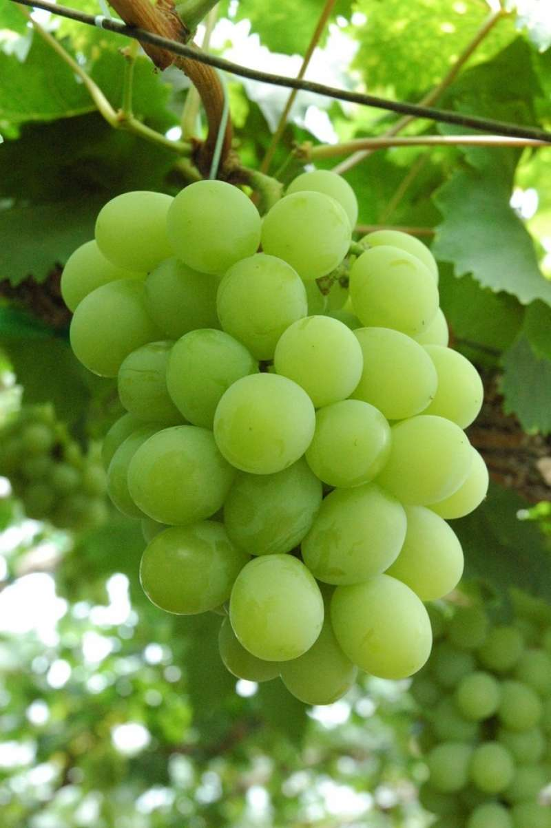 Muscat grapes : Okayama's specialty