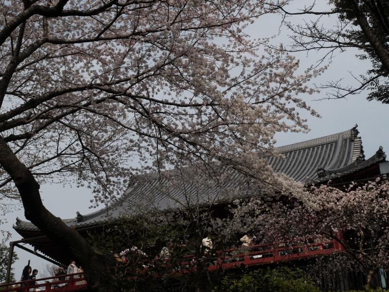 Cherry blossom flowers in Ueno Park