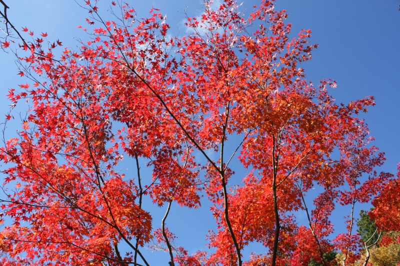 Coloured leaves and blue sky at the Sojiin temple in Koyasan