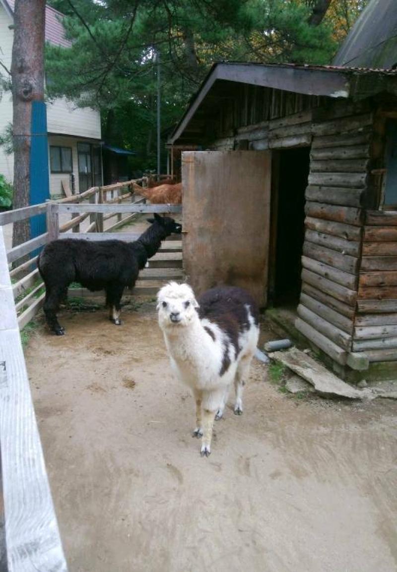 Alpaca in Kusatsu tropical zoo