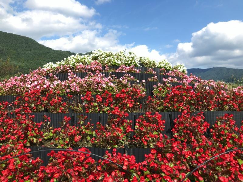 Beautiful flowers in Oishi Park