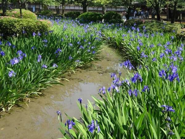 Rabbit-year iris in Kenrokuen