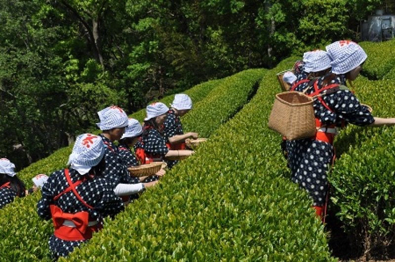 Optional: Tea leaves picking (Spring & Fall limited)