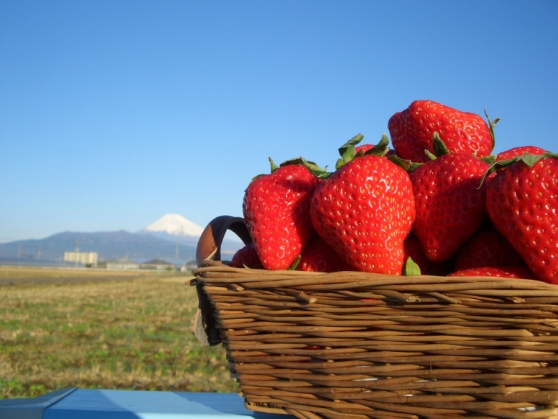 Strawberry picking experience (Jan-early May)