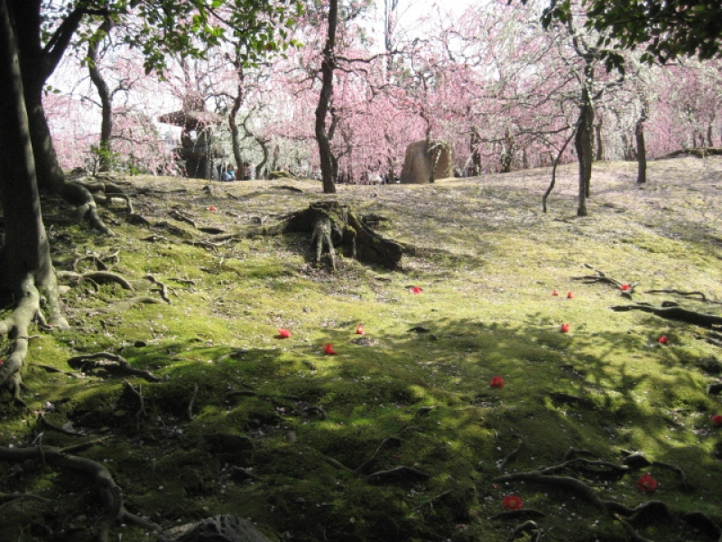 Japanese-style garden with moss plant, camellia and plum/apricot trees.