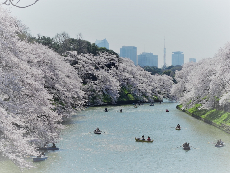 Cherry blossom around the Imperial Palace (Spring only)