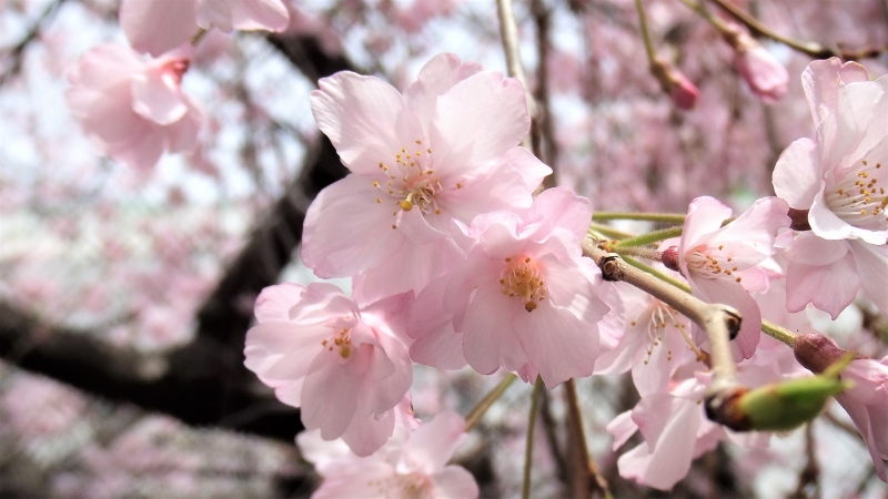 Pink cherry flowers  (Spring only)