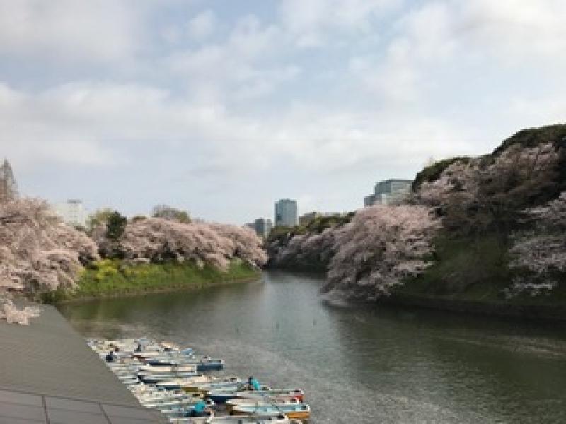 Breathtaking beauty of Sakura( cherry blossoms ) at Chidorigafuchi Moat,  one of the moats of Edo Castle.