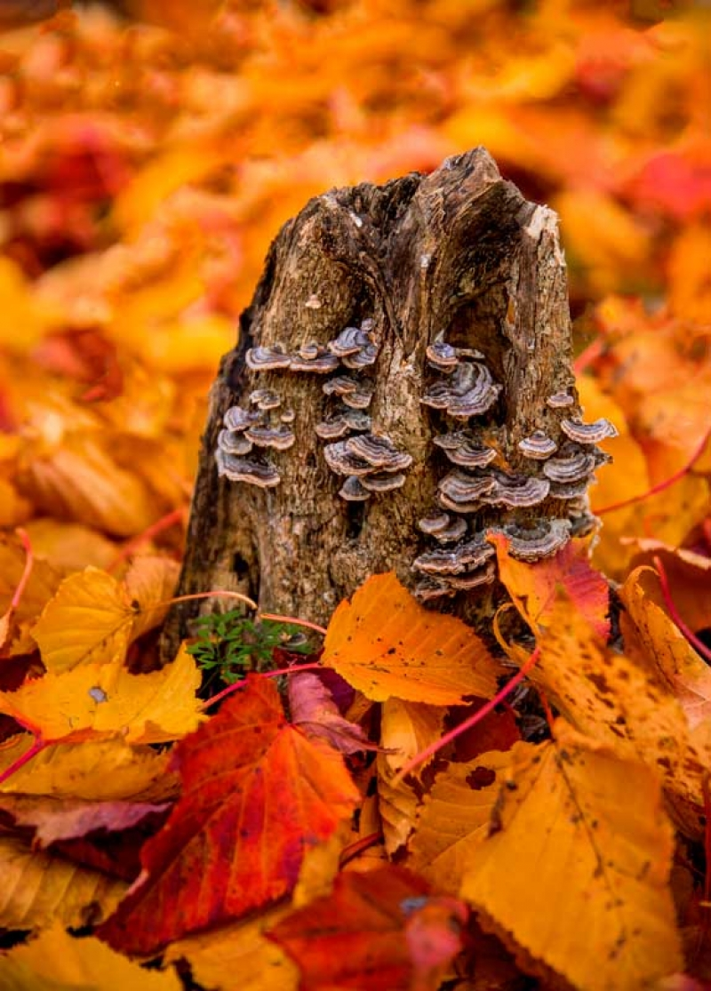 Maple Leaves by the famous Amazake-chaya Tea House