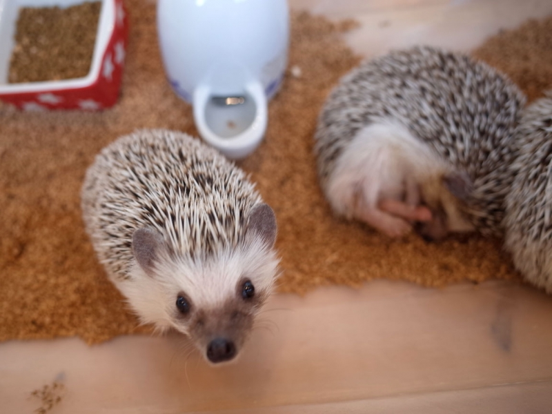 (option) Lovely Hedgehog cafe