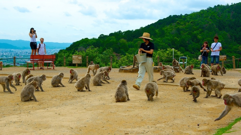 Arashiyama Monkey Park Iwatayama ...130 Japanese monkeys which you can get up close to