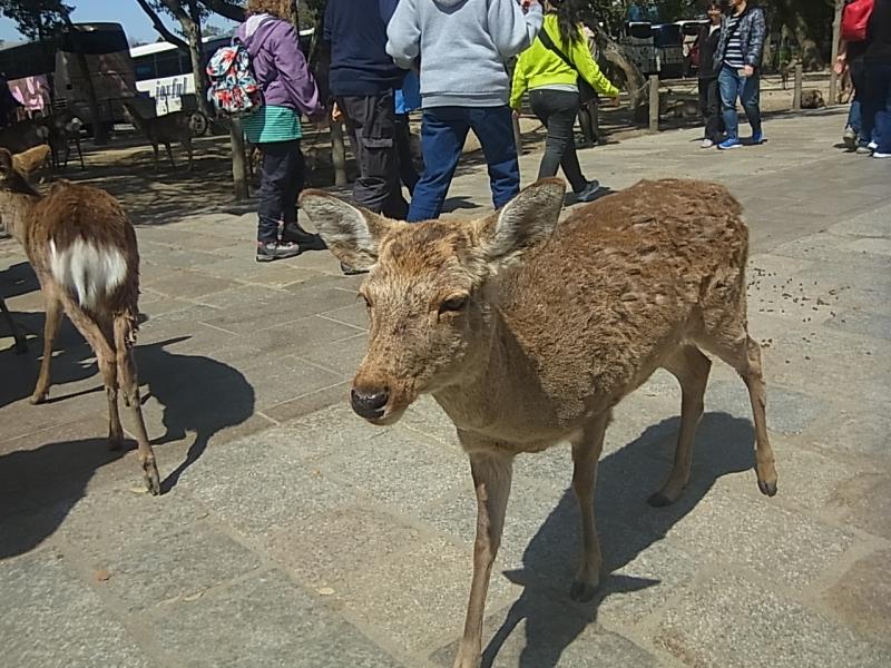 Deer in Nara Park, they are the divine messengers of Kasuga Taisha Shrine