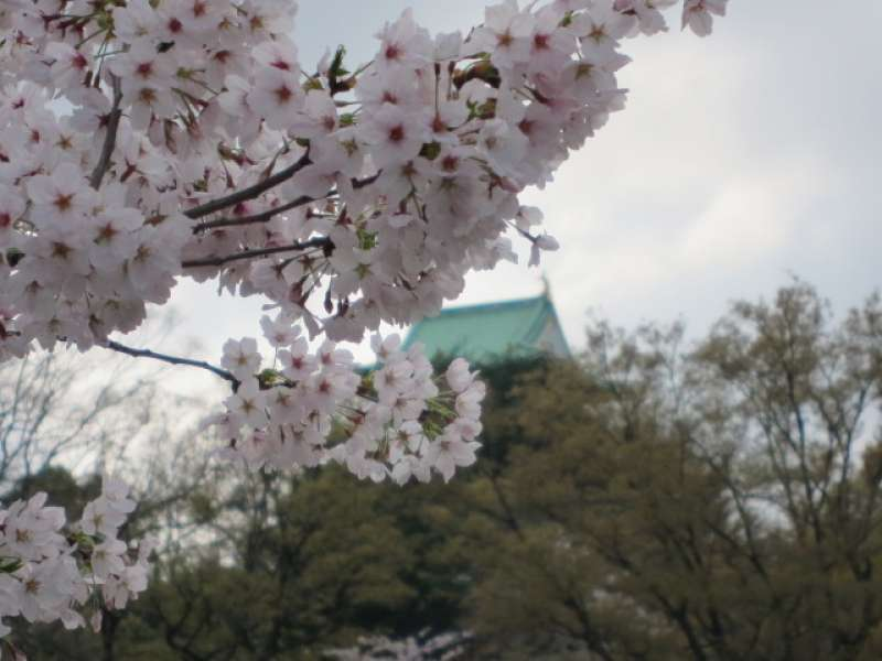 大阪城和樱花树