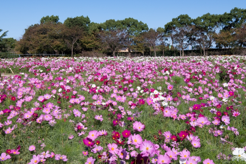 Nabana Flower Park-Autumn