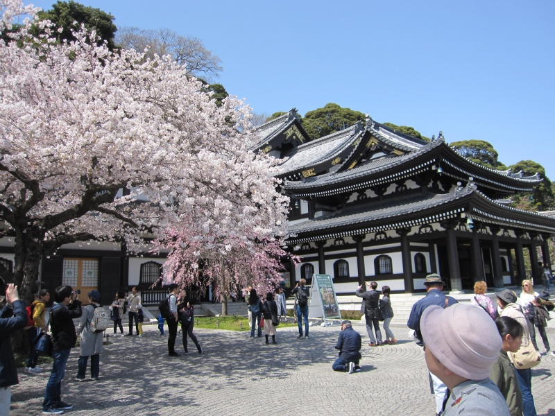 Cherry blossoms at Hasedera temple