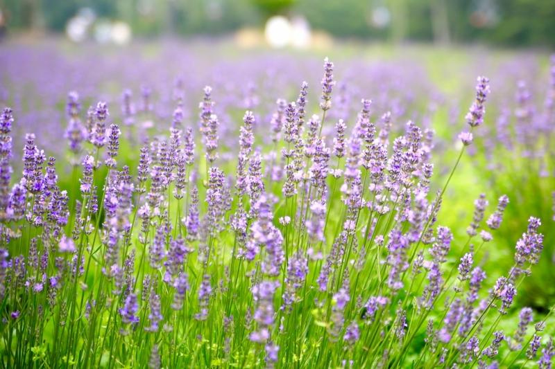 Visit lavender park