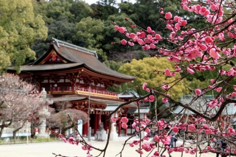 In Dazaifu Tenmangu, plum blossoms are also at their best.