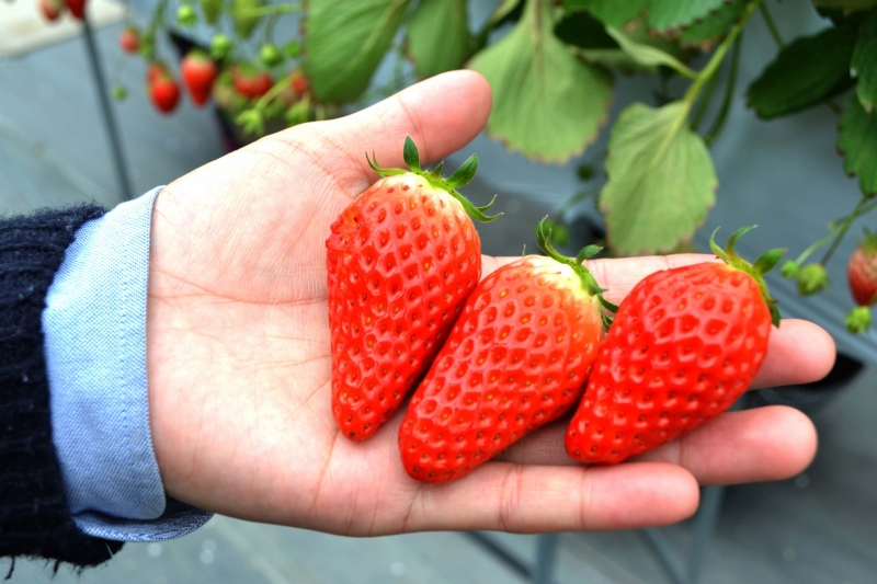 Amaou, a famous strawberry variety in Japan, is a specialty of Fukuoka Prefecture.