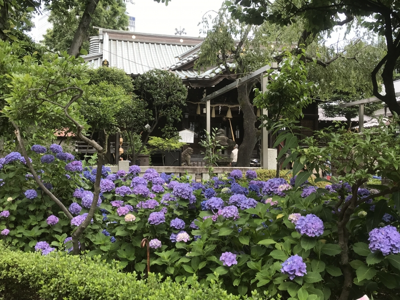 Hakusan Jinja is filled with beautiful hydrangeas during rainy season in Tokyo