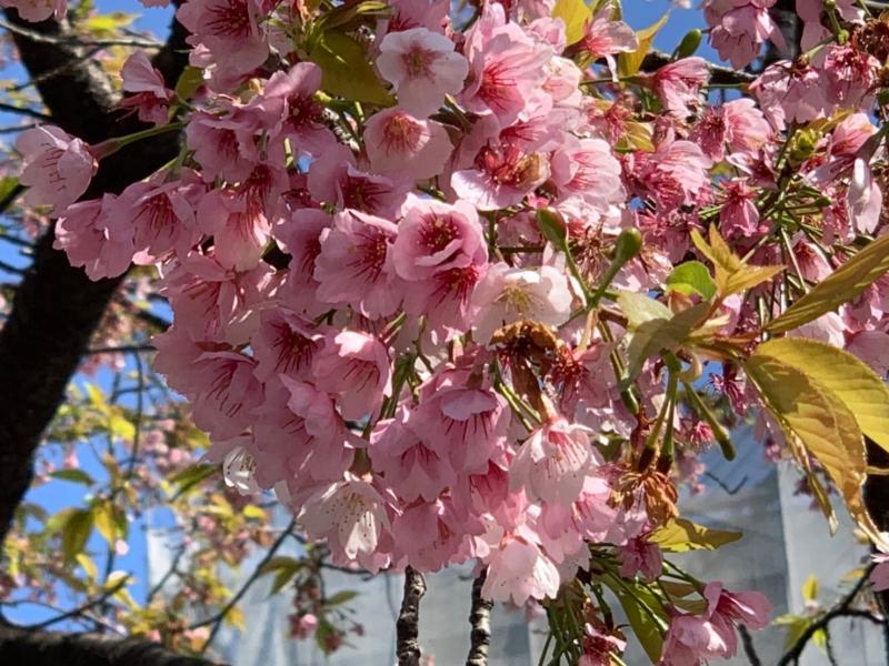 Tokyo: OHANAMI (Cherry blossom viewing) Private Tour