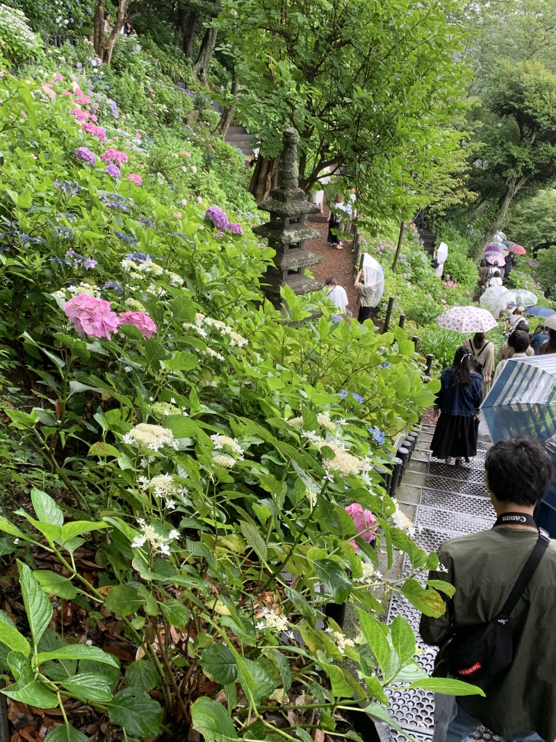 Hase's garden in June.  Its slope is filled with blooming hydrangea.