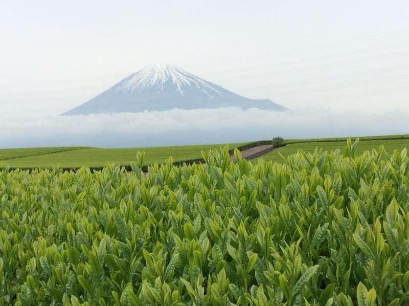 Tea Farm Visit in Fuji Area