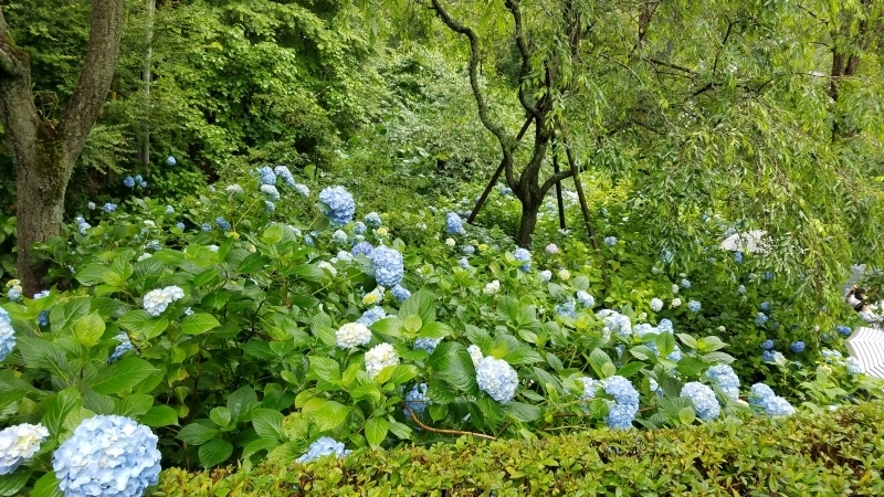 Hydrangeas are turning blue hues deeper and deeper with every shower in the early summer.