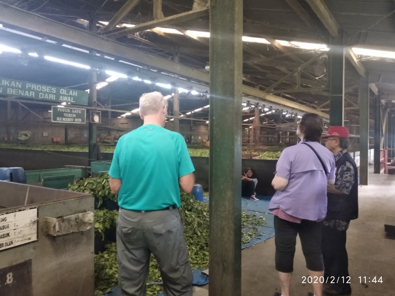 Inside of the tea factory. See the processing how they moisturize the leaves.